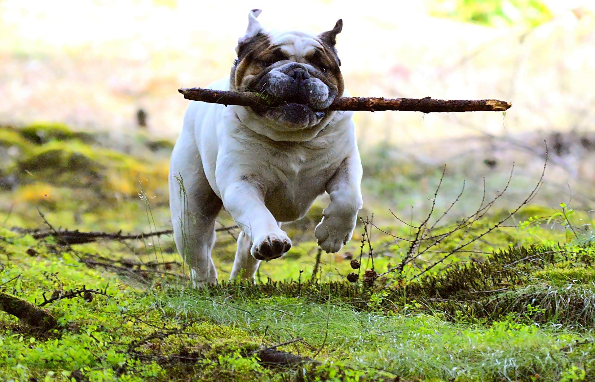 Dog walker Bridgwater happy dog with stick
